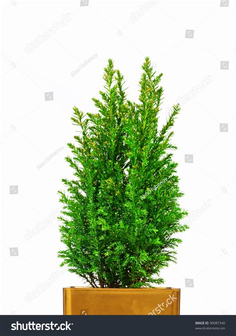real mini christmas tree in a pot stock photo 90087340