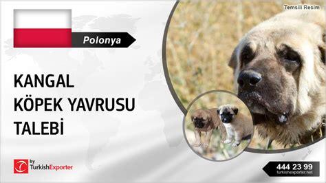 kangal price turkish kangal puppies price request from poland ihracat import export