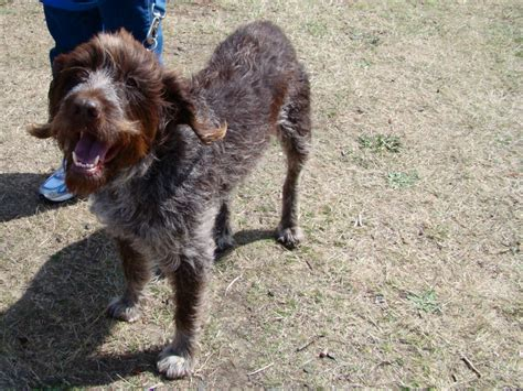 Types Of Wire Haired Dogs by Fichier Wire Haired Pointing Griffon Jpg Wikip 233 Dia