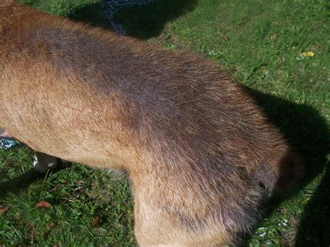 puppy hair loss my has moderate hair loss around the back elbows and knees she also has been