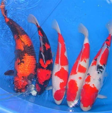 Bibit Ikan Koi Tegal jual beli ikan koi kediri home