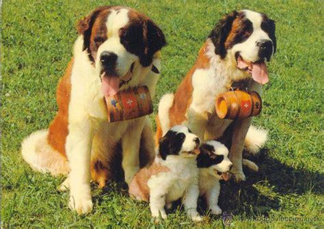 imagenes de la familia de animales familia de perros san bernardo postal circulada comprar