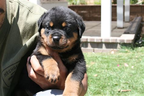 rottweiler puppies for sale dallas tx classifieds dogs dfw happy memorial day 2014