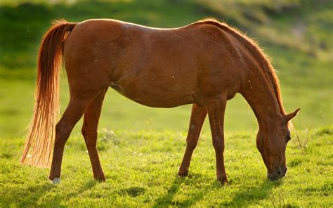 brown pony brown wallpapers