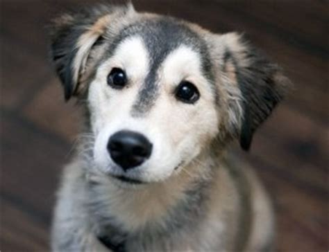 siberian retriever puppies siberian retriever the siberian husky and labrador retriever mix not in the