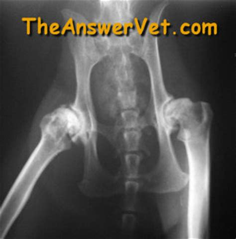 dysplasia in dogs cat hip dislocation get free image about wiring diagram