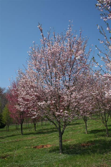 autumn flowering cherry autumnalis cherry shade tree farm shade tree farm