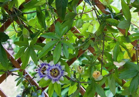 schnellwachsende rankpflanze sichtschutz sichtschutz garten terrasse praktische elegante l 246 sungen
