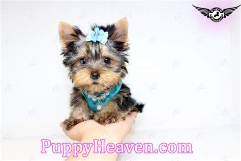 yorkie puppies orange county microteacup yorkie puppy in orange county californi afound a new loving home