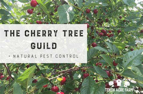 cherry tree yield the cherry tree guild and pest tenth acre farm