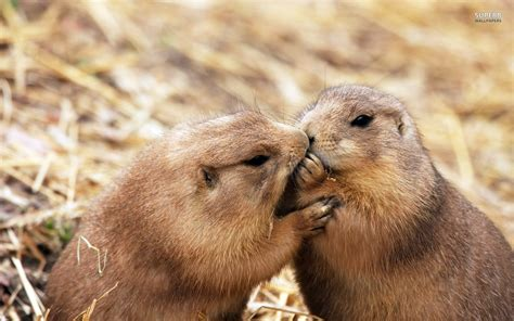 Beaver Pc Thats Actual Beaver Not The Brand Beaver by Lovely Beaver Wallpapers Hd Pictures