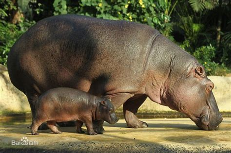 Hippo Top 1 top 10 deadliest animals in the world china org cn