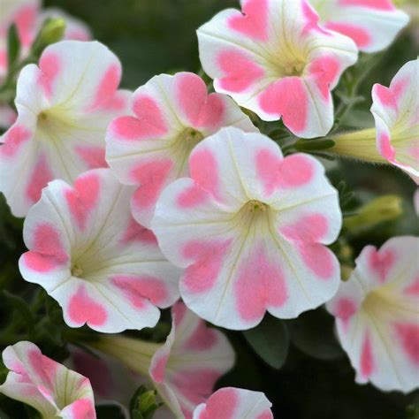 25 best ideas about petunias on pinterest