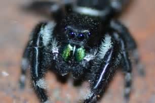 Garden Spider Fangs Jumping Spider Green Fangs Flickr Photo