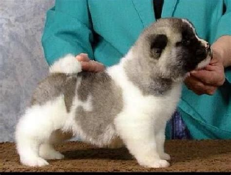 akita puppies for free akita puppies for sale for sale adoption from east of