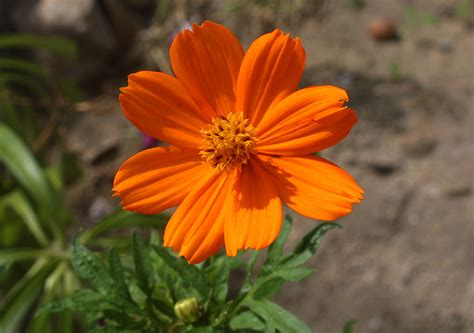 photos of colombia flowers cosmos