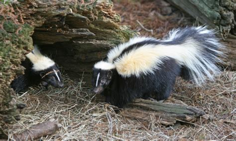 how to get rid of skunks remove pests from your home yard