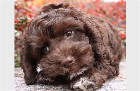 havanese cockapoo light brown havanese dogs havanese puppies for sale on island pets world