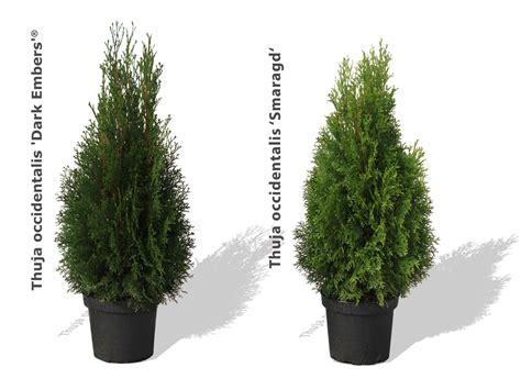 langsam wachsende thuja lebensbaum embers 174 lesdasma s thuja
