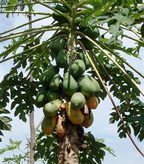 prosedur membuat manisan mangga membuat bioetanol dari limbah buah buahan berbagi tak