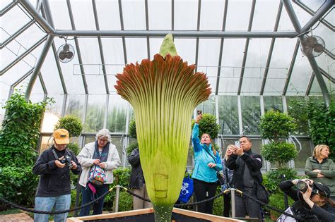 What Makes The Corpse Flower Stink So Bad Botanical Gardens Corpse Flower