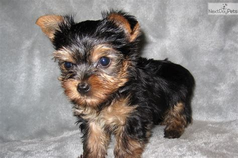 yorkies for sale in st louis mo boy 2 terrier yorkie puppy for sale near st louis missouri