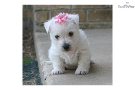 west highland puppies for sale westie puppies for sale in breeds picture