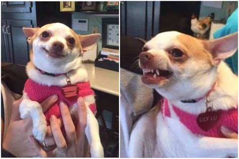 Chihuahua Meme - happy chihuahua angry chihuahua blank template imgflip