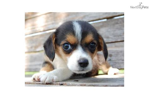 corgi puppy adoption corgi adoption near me pets world