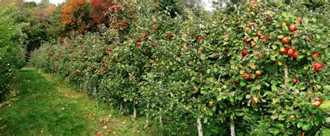 Apple Barn Store Prosumergroup Com Au Cali Apple Growers At A Competitive