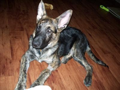 brindle german shepherd puppy german shepherd lab mix brindle breeds picture