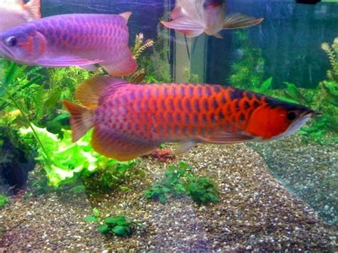 Pompa Akuarium Arwana tips merawat ikan arwana dalam akuarium dunia akuarium
