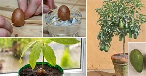 Can You Grow Fruit Trees Indoors - how to grow your own avocado tree in small garden pot