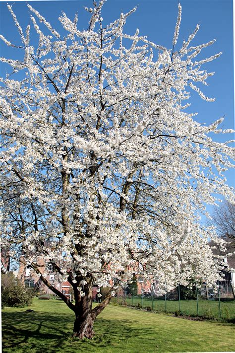 cherry tree genus file 0 prunus avium havr 233 1 jpg wikimedia commons