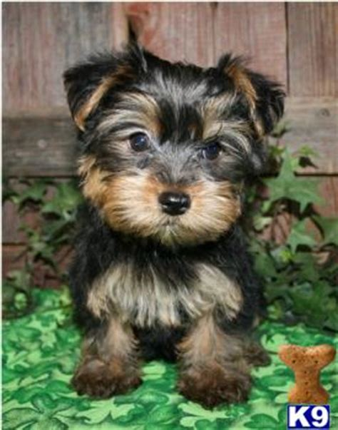 yorkie poo puppies for sale ny american bulldog puppies chorkie puppymonths yorkie longhair chihuahua
