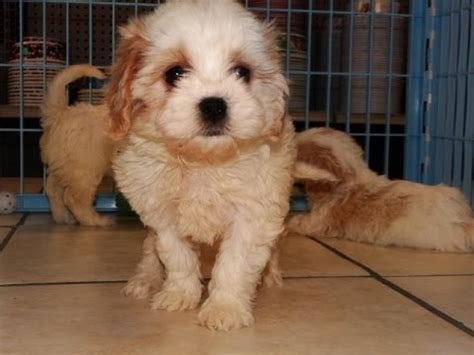 dogs for sale in charleston sc cavachon puppies dogs for sale in charleston south carolina sc rock hill