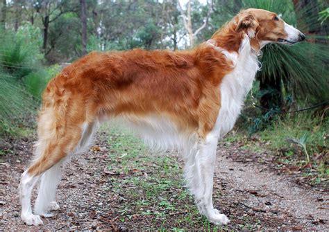 Borzoi - All Big Dog Breeds