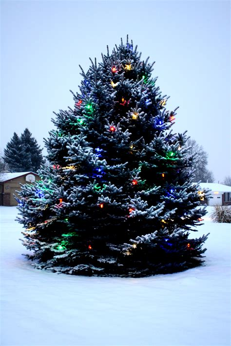 outdoor christmas tree with lights and snow picture free