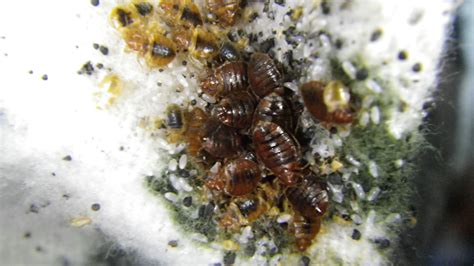 bed bug larva bed bugs and eggs bed bugs