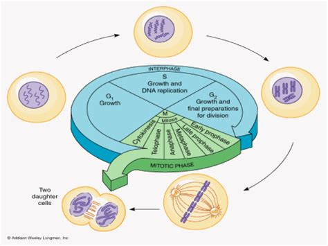 the eukaryotic cell cycle cells that are destined to
