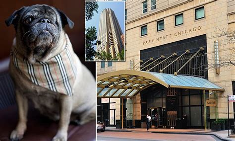 pug rescue chicago chicago hotel employs new concierge the one eyed rescue pug daily mail