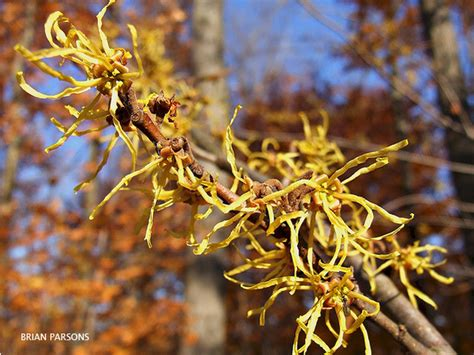 common witch hazel the holden arboretum