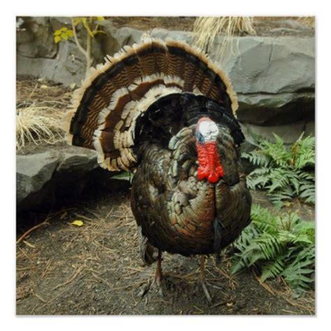 printable wild turkey picture wild turkey poster print zazzle
