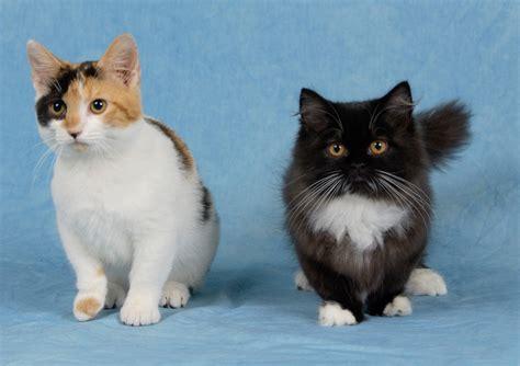 Thenapoleoncat's Blog   Information on the Napoleon Cat