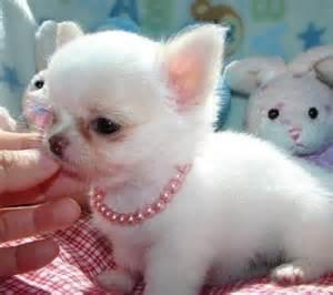 Chihuahua puppies for free hannahorlando hotmail com 11421047 jpg