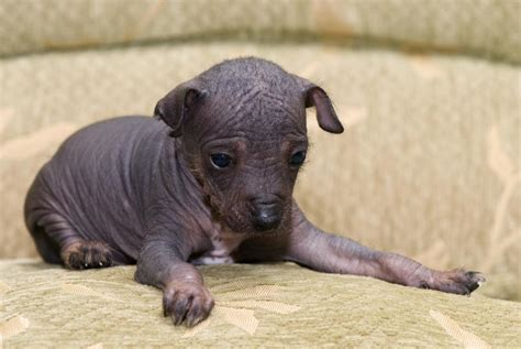 crested hairless puppies crested puppies slideshow