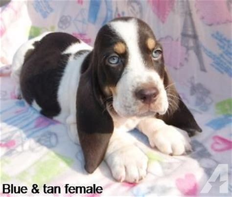basset hound puppies ny blue and basset hound puppies for sale in barbourville new york classified