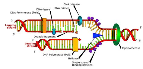 dna replication diagram biology dictionary r