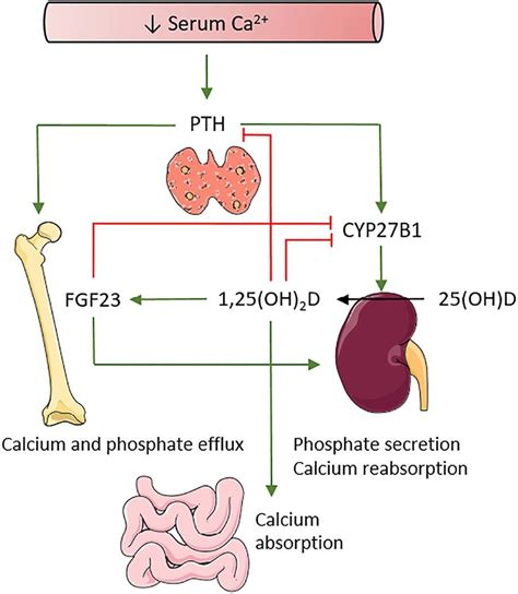 calcium  vitamin  homeostasis pth     tightly  scientific diagram