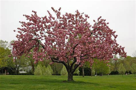 cherry trees b b shere prunus serrulata kwanzan cherry tree beautiful flowering trees deer blossoms